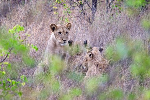 Lion family in the grass