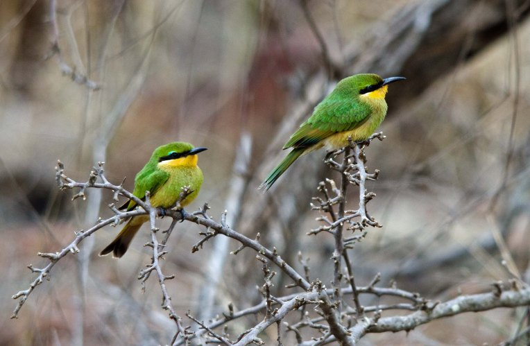 A beautiful pair of Little Bee-eaters