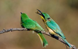 Adult Little Bee-eater giving its baby a bee