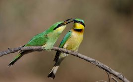 Baby bee-eater trying to swallow its bee