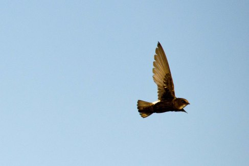 One of the many Little Swifts at the high-water bridge
