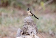 A moulting Long-tailed Paradise-whydah