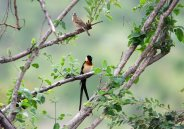 A pretty couple, Mr. and Mrs. Paradise-whydah