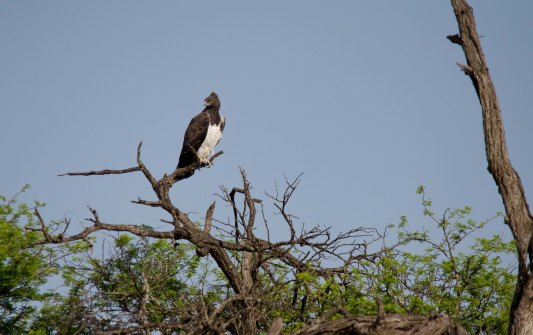 One of the largest African eagles, the Martial Eagle