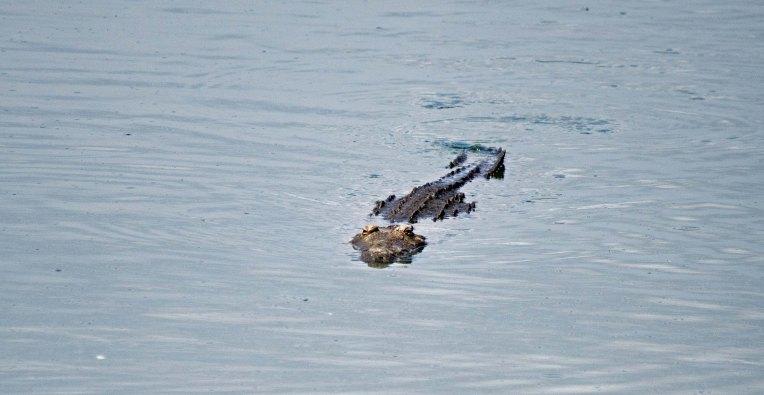 The ever hungry Nile Crocodile
