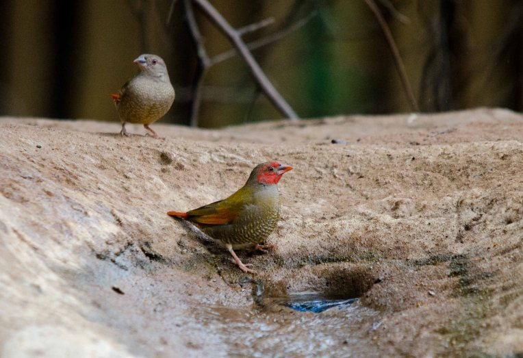 The star of the show, a male Orange-winged Pytilia