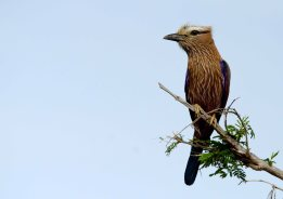 Yet another roller, the Purple Roller, the biggest in southern Africa