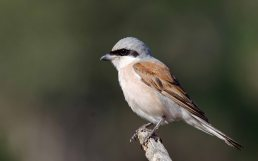 A handsome male Red-backed Shrike