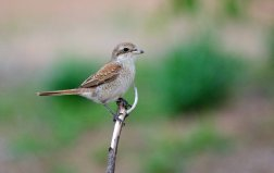 A pretty female Red-backed Shrike
