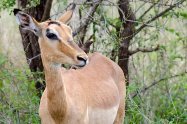 An impala with a Red-billed Oxpecker juvenile on her back