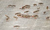 A roadblock of Red-billed Queleas