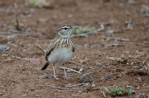 A Sabota Lark on the roadsife