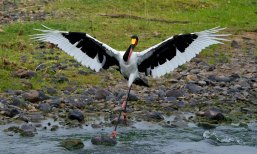 A Saddle-billed Stork dancing around the river