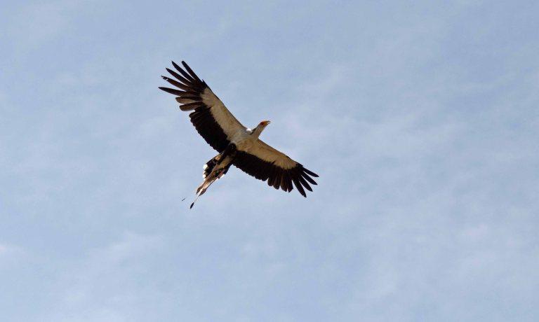 Secretarybird -1 Klopperfontein, KNP