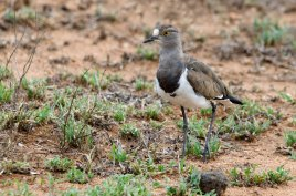 A gorgeous Senegal Lapwing