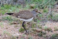A recently fledged Senegal Lapwing