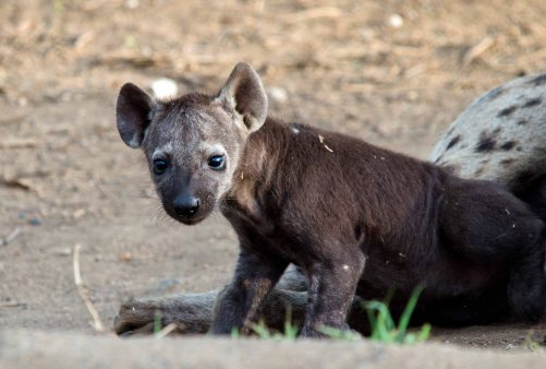 A gorgeous Spotted Hyena cub