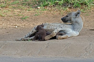 Spotted Hyena cubs nursing