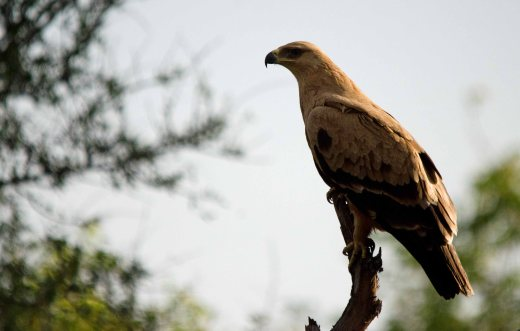 A big Tawny Eagle