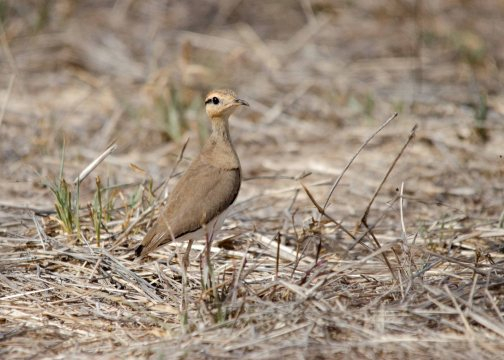 An adult Temminck's Courser checking us out