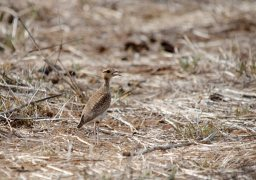 A young Temminck's courser
