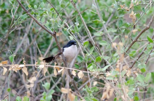 A Tropical Boubou peaking out at us