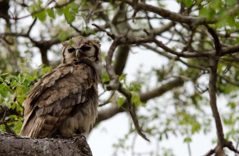 Mama eagle-owl watching over her family
