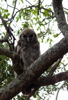 A recently fledged Verreaux's Eagle-owl
