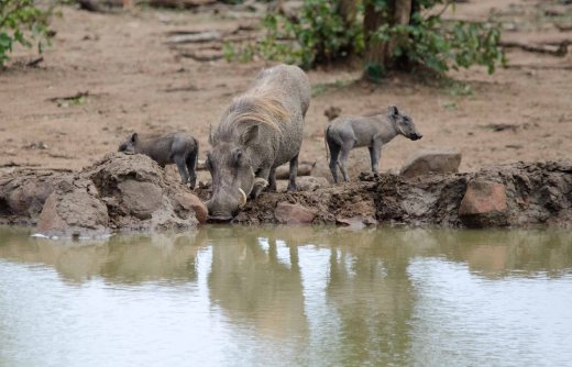 A Warthog drinking with her piglets