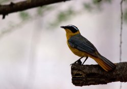 One of our favorite birds, White-browed Robin-chate