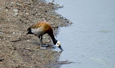 A White-faced Whistling Duck taking a drink