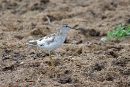 A partially leucistic Wood Sandpiper