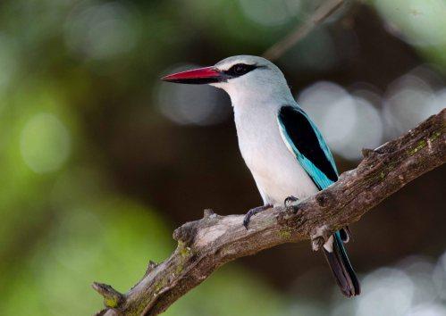 The always stunning Woodland Kingfisher