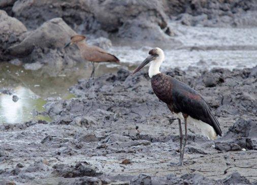 A Woolly-necked Stork at Klopperfontein Dam