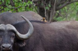 Yellow-billed Oxpecker hitching a ride