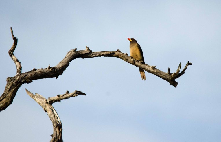 Sunning Yellow-billed Oxpecker
