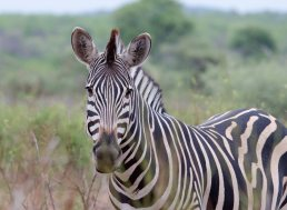 The animal for which Punda is named, the Burchell's Zebra