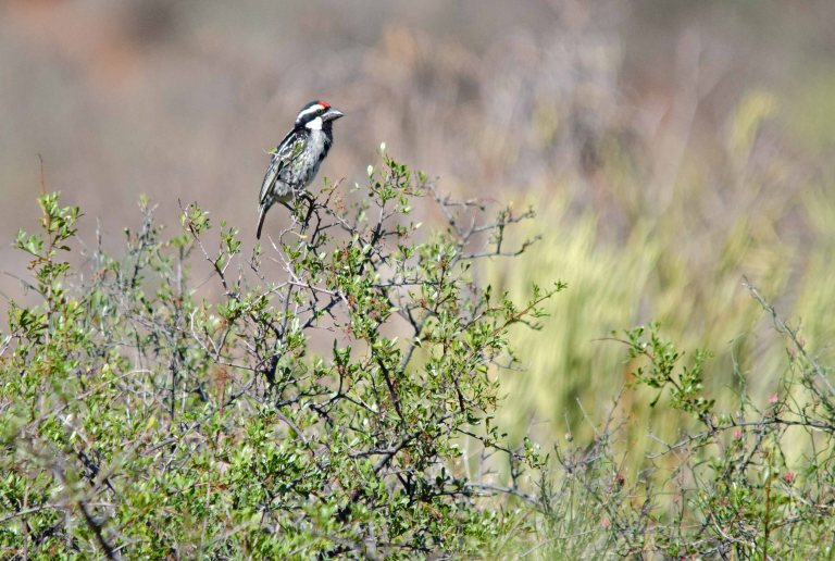 Acacia Pied Barbet - Niewoudville to Calvinia, NC