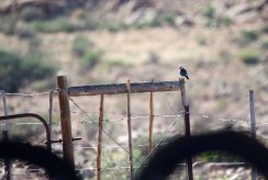 My lifer Pygmy Falcon