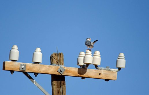 A Pygmy Falcon doing his signature tail flick