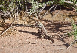 An interesting agama at the dunes