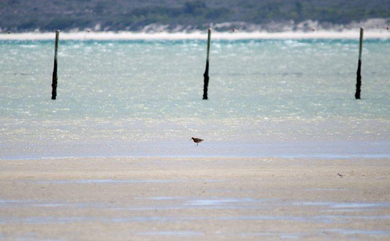 A far off Bar-tailed Godwit at Seeberg