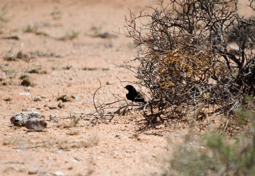 Another shot of the Black-eared Sparrow-lark