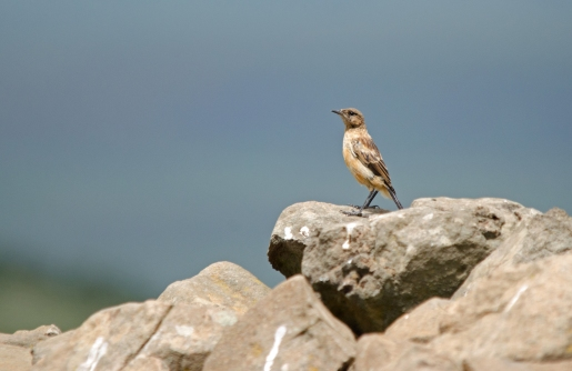 A perfect female Buff-streaked Chat