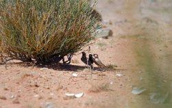 The friendliest Black-eared Sparrow-lark of the trip