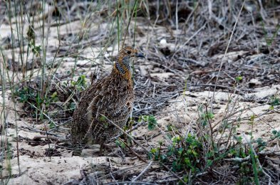 A Grey-winged Francolin in WCNP