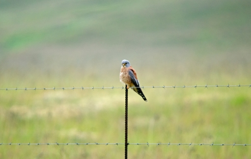 A male Lesser Kestrel