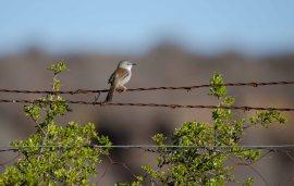 Gorgeous little Namaqua Warbler