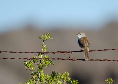 A wonderful endemic LBJ, the Namaqua Warbler