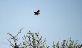 Red Lark in flight